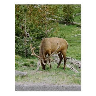 Elk With Velvet Antlers Postcard