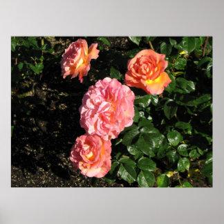 Elle Hybrid Tea Rose 148 Posters
