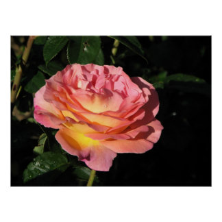 Elle Hybrid Tea Rose 152 Print