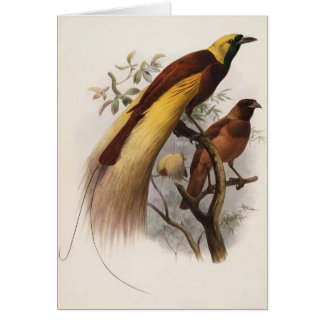 Elliot - Paradisea apoda -Greater Bird Of Paradise Card