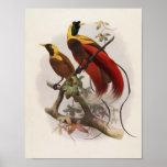 Elliot -Paradisea sanguinea - Red Bird Of Paradise Poster