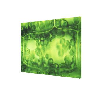 Elodea Plant Cells Canvas Print