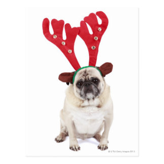 Embarrassed looking Pug wearing Reindeer Antlers Postcard