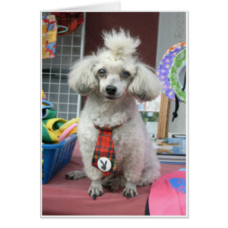 Embarrassed Poodle Greeting Card