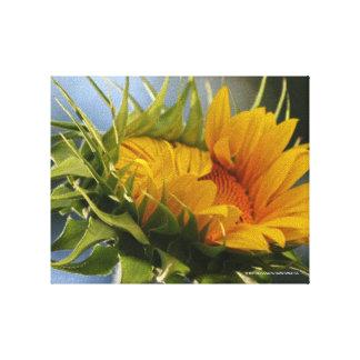 Emerging Sunflower Canvas Prints
