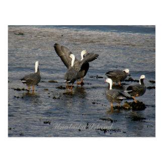Emperor Geese, Unalaska Island Postcard
