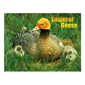 Emperor Goose and chicks Post Card