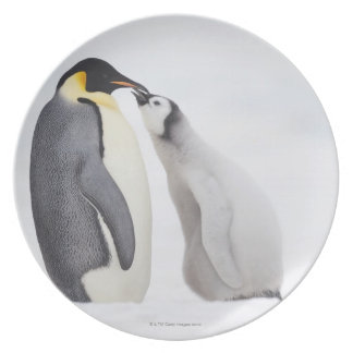 Emperor penguin (Aptenodytes forsteri), chick Plate