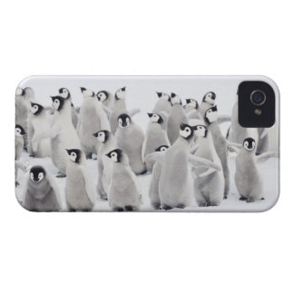 Emperor penguin (Aptenodytes forsteri), group of iPhone 4 Cases