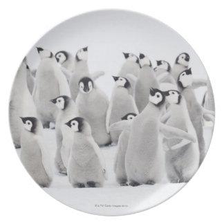 Emperor penguin (Aptenodytes forsteri), group of Plate