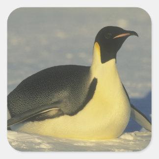 Emperor Penguin, Aptenodytes forsteri), Square Sticker