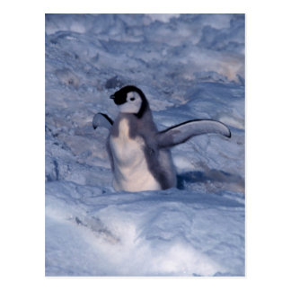 Emperor Penguin Chick Postcard