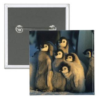 Emperor Penguin chicks in creche, Aptenodytes 15 Cm Square Badge