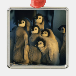 Emperor Penguin chicks in creche Aptenodytes Ornament