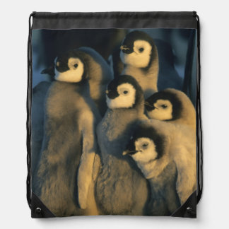 Emperor Penguin chicks in creche, Aptenodytes Drawstring Bag