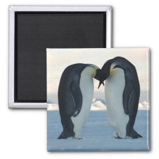 Emperor Penguin Courtship Square Magnet
