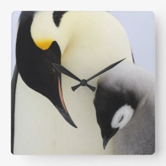 Emperor Penguin looking at chick Square Wall Clock