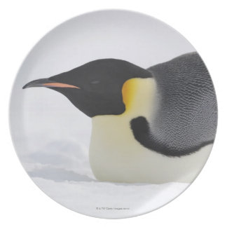 Emperor Penguin, Snow Hill Island, Weddell Sea, Plate