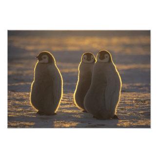Emperor Penguins, Aptenodytes forsteri), 2 Photograph