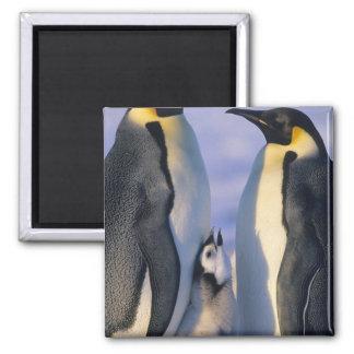Emperor Penguins (Aptenodytes forsteri) Adults Square Magnet