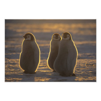 Emperor Penguins, Aptenodytes forsteri), Art Photo