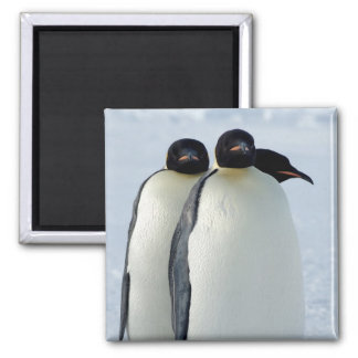 Emperor Penguins Huddled Square Magnet