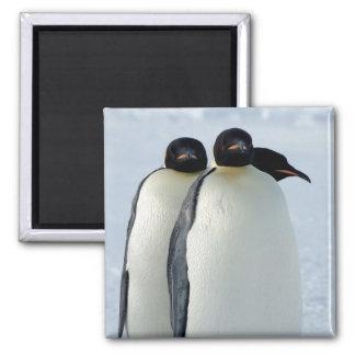 Emperor Penguins Huddled Square Magnet