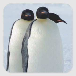 Emperor Penguins Huddled Square Sticker