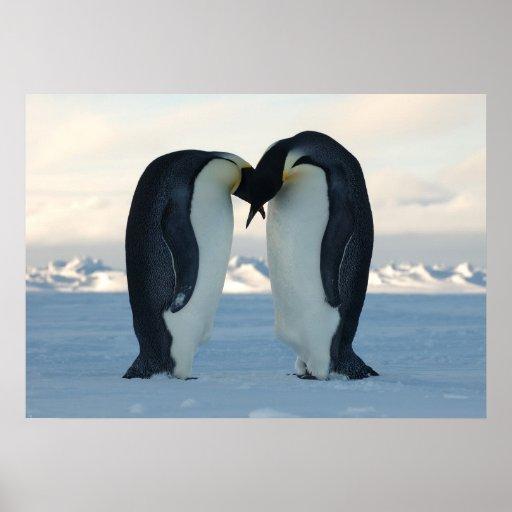 Emperor Penguins Kissing Print