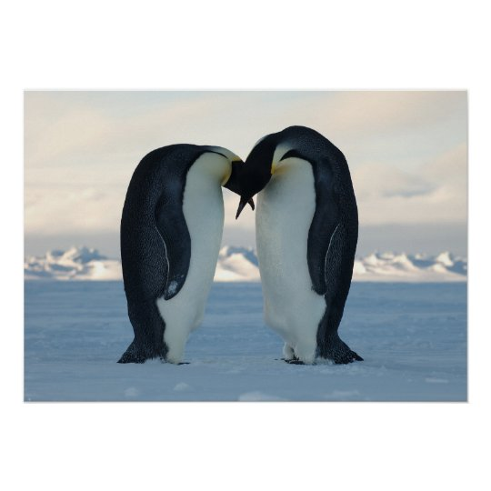 Emperor Penguins Kissing Poster