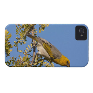 Endangered palila bird on branch Case-Mate iPhone 4 case