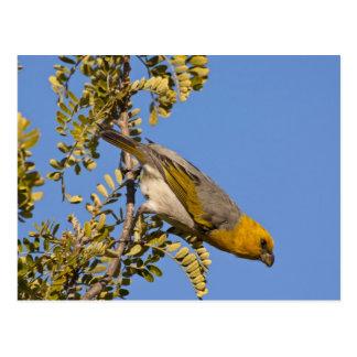 Endangered palila bird on branch postcard