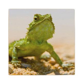 Endemic Male Namaqua Agama In The Sunlight Wood Coaster