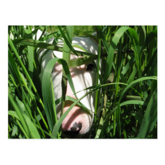 English Bull Terrier Hiding in the Grass Postcard