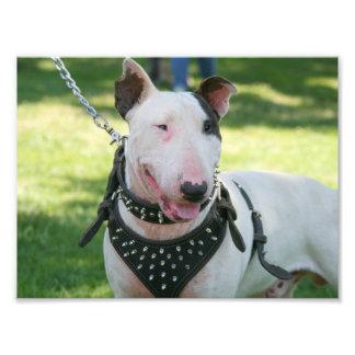 English bull terrier photograph