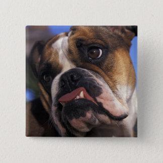 English Bulldog 15 Cm Square Badge