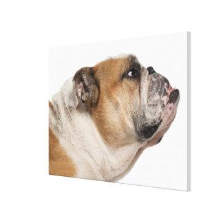 English Bulldog (6 years old) Canvas Print