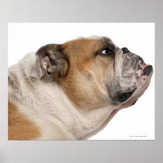 English Bulldog (6 years old) Poster