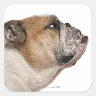 English Bulldog (6 years old) Square Sticker
