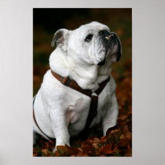 English Bulldog poster print