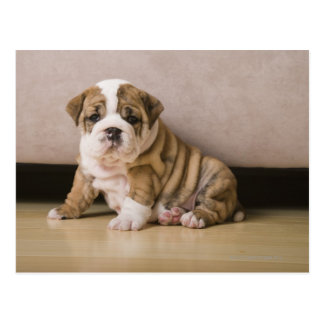 English bulldog puppies post card