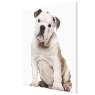 English bulldog puppy (2 months old) canvas print