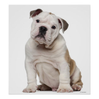 English bulldog puppy (2 months old) poster