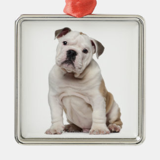 English bulldog puppy (2 months old) Silver-Colored square decoration