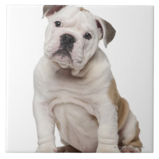 English bulldog puppy (2 months old) tile