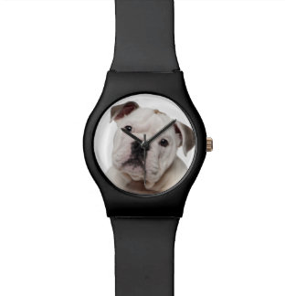 English bulldog puppy (2 months old) watch