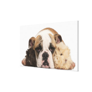 English bulldog puppy (4 months old) and two guine canvas print