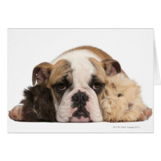 English bulldog puppy (4 months old) and two guine card