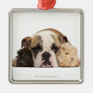 English bulldog puppy (4 months old) and two guine christmas ornament