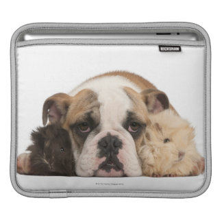 English bulldog puppy (4 months old) and two guine iPad sleeve